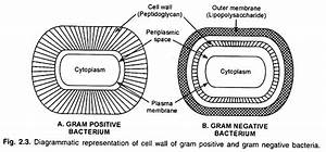Cell Wall Types  Top 3 Types Of Cell Wall  With Diagram