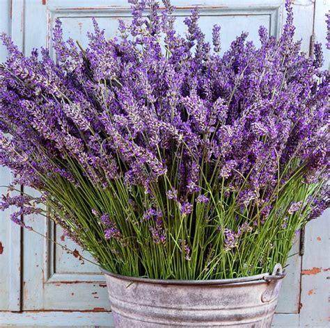 lavanda in vaso lavanda pianta aromatica in vaso per cucina prezzo e