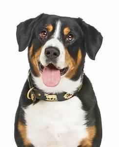 Dan Dinmont Terrier