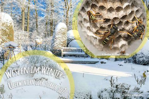 wespen im winter wespen im winter 252 berwintern oder sterben sie