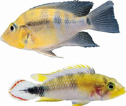 Fish Icon Transparent Tilapia Yellow Pngimg