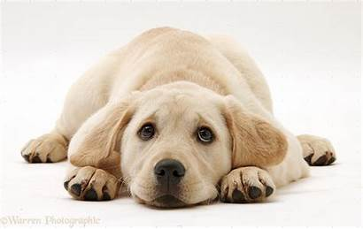 Labrador Yellow Puppy Retriever Lab Background Wallpapers