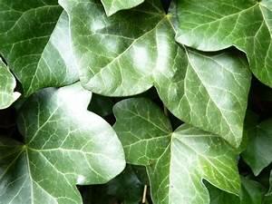 Efeu Pflanzen Kaufen : irischer efeu hedera helix hibernica bodendecker g nstig kaufen ~ Buech-reservation.com Haus und Dekorationen