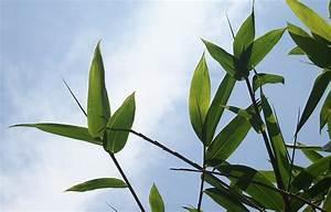 Wie Schnell Wächst Bambus : schnell reich werden mit der bambus methode ~ Frokenaadalensverden.com Haus und Dekorationen