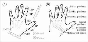 Definition Of Human Hand U0026 39 S Structure  21