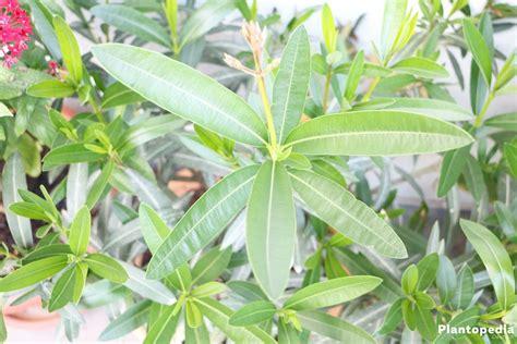 oleander ähnliche pflanzen oleander nerium oleander pflanzen pflege und schneiden plantopedia