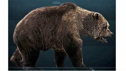 Cave Bear Caverne Oso Delle Orsi Bears