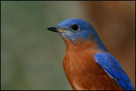 eastern bluebird page