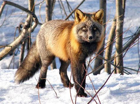 beautiful   foxes cute pictures  geniusbeauty