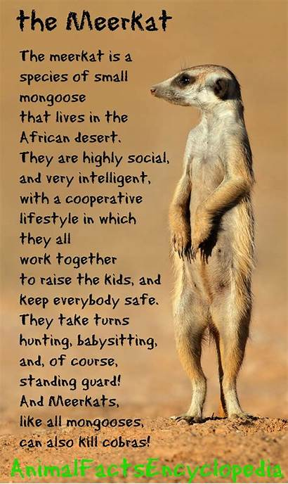 Meerkat Facts Animal Encyclopedia Sentry Animalfactsencyclopedia Explore