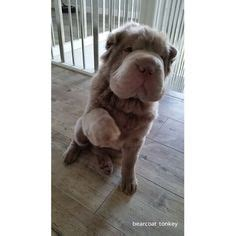 Do Shar Peis Shed Hair by Shar Pei I Just Those Wrinkles Maybe I Ll Get A