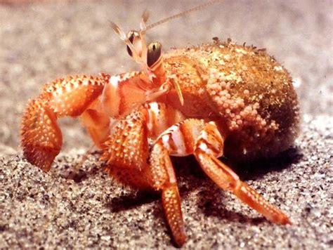 hermit crab without shell 17 best images about hermit crabs on pinterest a house hermit crabs and crabs