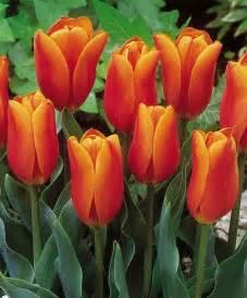 peony bouquet tulip king 39 s orange