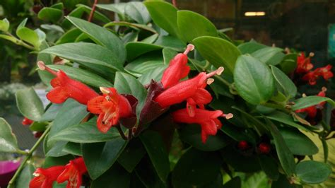 pictures of lipstick plant file lipstick plant aeschynanthus radicans red 1 jpg wikimedia commons