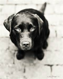 Chocolate Lab Puppy Black and White