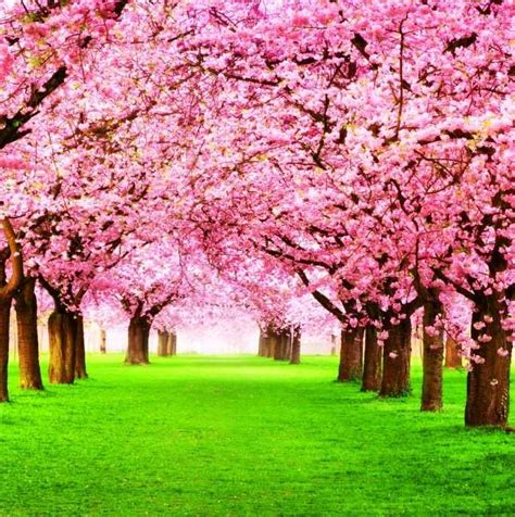 gambar taman bunga kartun  gambar bunga sakura jepang