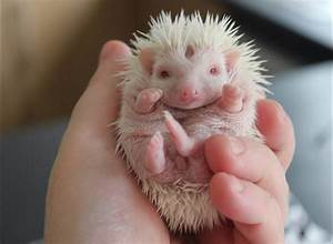 Cute baby hedgehogs. When hedgehogs are born their spines ...