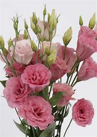 Best lisianthus flower ideas and images on bing find what youll pink lisianthus flower mightylinksfo
