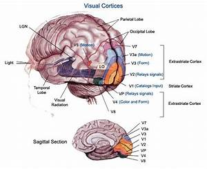 Best 25  Occipital Lobe Ideas On Pinterest