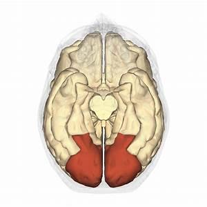 Occipital Brain Lobe