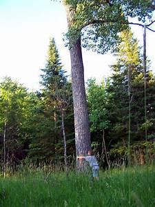 Restful Trails Food Forest Garden  Mother Of All Poplar