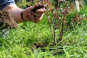 Wann Schneidet Man Rosen : pflanzzeit f r rosen wann ist der beste zeitpunkt ~ Lizthompson.info Haus und Dekorationen
