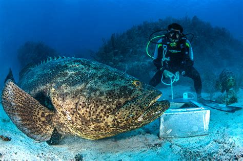 grouper goliath largest much weigh atlantic perfect hook florida feet pounds