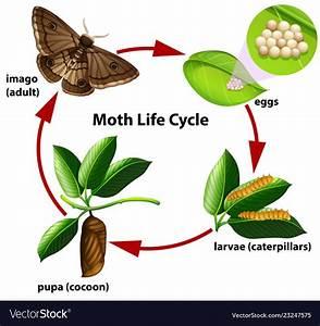 Moth Life Cycle Diagram Royalty Free Vector Image