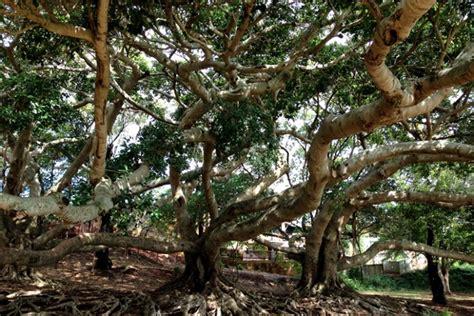 the best kids climbing trees in brisbane brisbane kids
