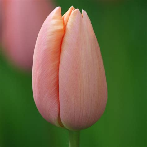 buy single late tulip bulbs tulipa menton delivery by