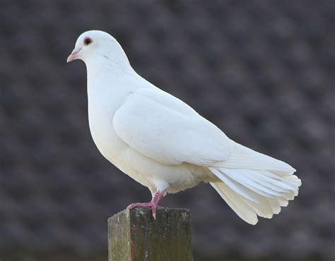 dove white the white dove symbol of peace reflection on being