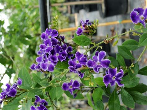tree with small purple flowers flowering trees for the landscape freundfloweringtrees com