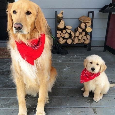 Chan And Gus Dressed Up In Their Finest Red Bandanas For