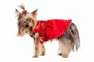 Yorkshire Terrier Dog In Red Clothes Stock Photos - Image ...