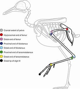 Morphology And Motion  Hindlimb Proportions And Swing