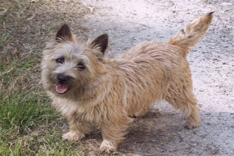 Terriers That Dont Shed by Grooming Cairn Terrier Newhairstylesformen2014