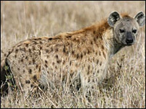 laughings  joke  spotted hyenas wbur news