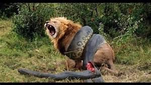 Kodiak Bear vs Lion - Bing images