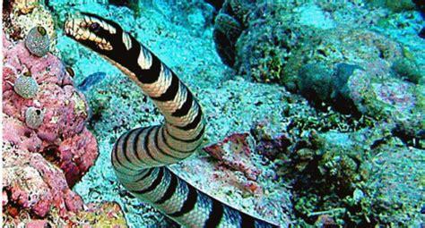 5 hewan laut paling berbisa nida n piwanoke