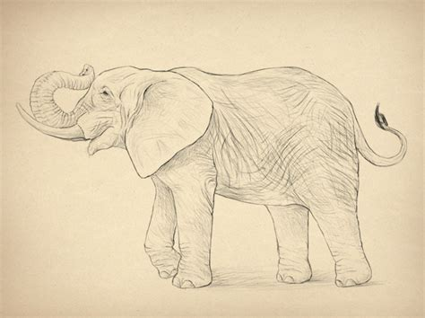 How to Draw Realistic Animals Elephants