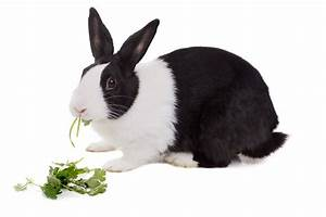 can rabbits eat parsley another green treat for your pet