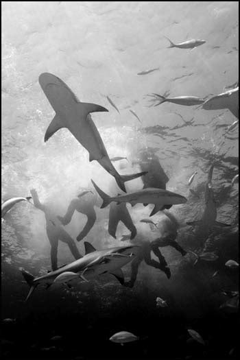 Uss Indianapolis Sinking Sharks by Survivors Of The Uss Indianapolis Which Was Torpedoed And