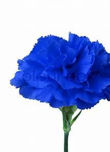 Blaue Blume auf weißem Hintergrund isoliert | Stock-Foto ...