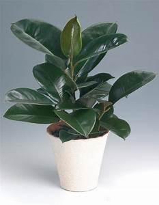 Gummibaum Verliert Blätter : f nsterfikus ficus elastica interior plants ~ Lizthompson.info Haus und Dekorationen