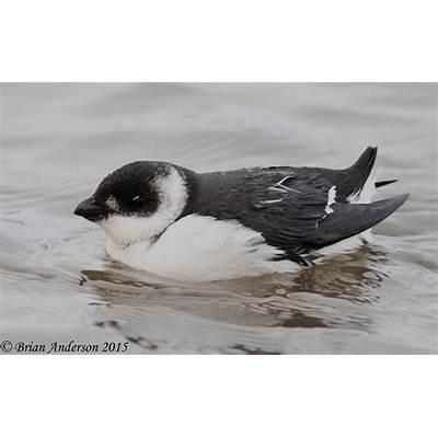 Brian's birding blog: Spectacular Little Auk at Salthouse
