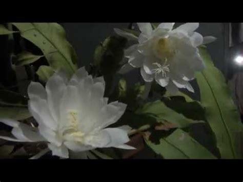 brahma kamal  rare flower youtube