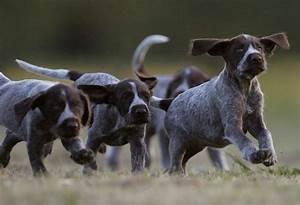 German Wirehaired Pointer Puppies!!
