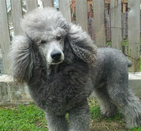 silver poodle thread page  poodle forum