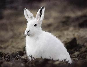 Arctic Hare | The Life of Animals