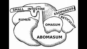 Digestive Systems Of Livestock  Anatomy